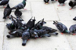 piccioni-citta
